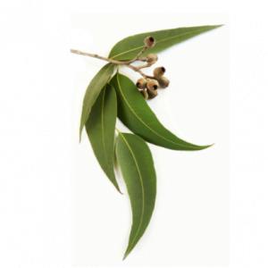 dōTERRA Eucalyptus Essential Oil – 15ml