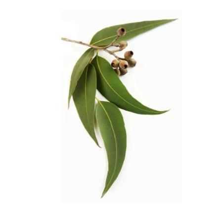 dōTERRA Eucalyptus Essential Oil - 15ml